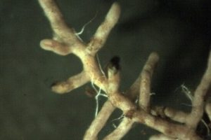 boomwortel-met-mycorrhiza-460x290